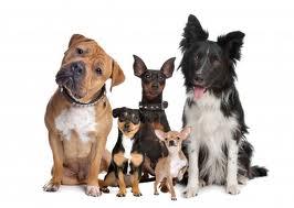 Unghund / voksen Hundetræning